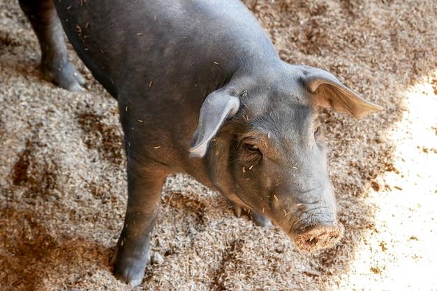 Black small pigs in farm