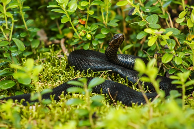 Black snake viper among green leaves