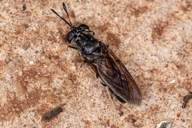 Black soldier fly of the species hermetia illucens