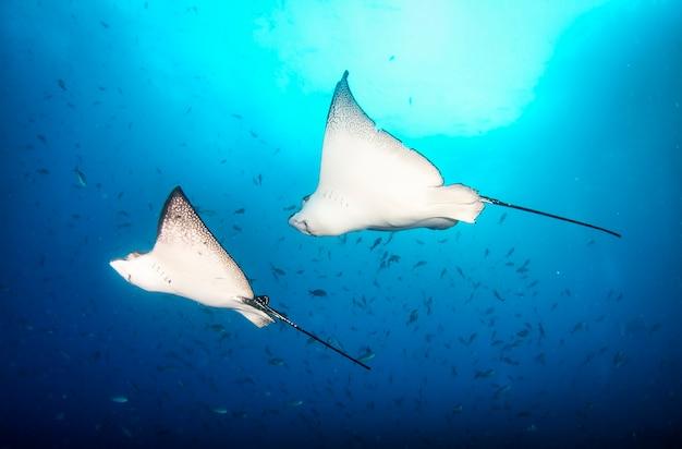 열대 수중에서 수영하는 검은 얼룩 독수리 광선. 수중 세계의 분자 광선. 동물의 세계 관찰. 갈라파고스의 에콰도르 해안에서 스쿠버 다이빙 모험