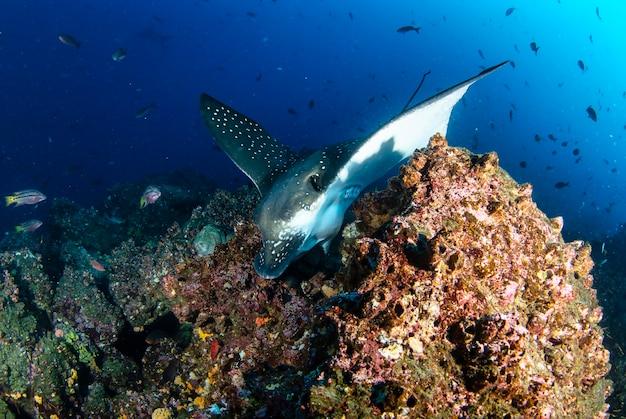 Черные подорлики плавают в тропических подводных водах. скат мобула в подводном мире. наблюдение за животным миром. подводное плавание с аквалангом на эквадорском побережье галапагосских островов