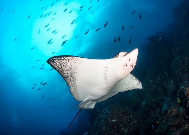 Black spotted eagle rays swimming in tropical underwaters. mobula ray in underwater world. observation of animal world. scuba diving adventure in ecuador coast of galapagos