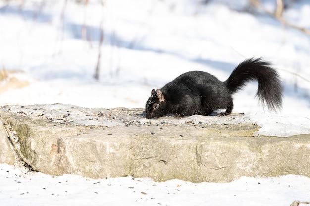Черная белка ищет пищу на вершине камня зимой