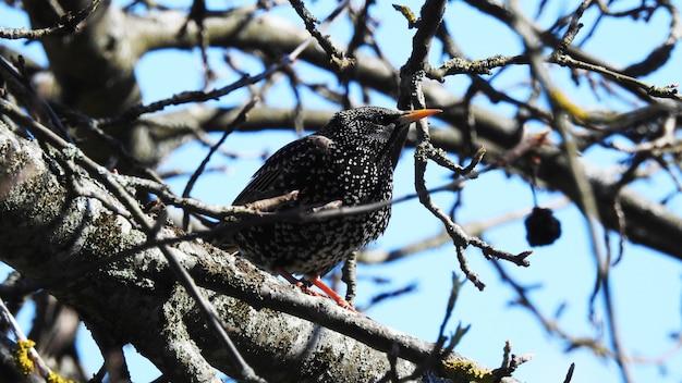 枝に黒いムクドリ