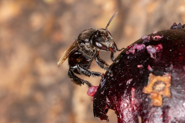 Black stingless bee of the genus trigona