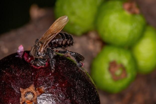Черная безжалостная пчела из рода trigona