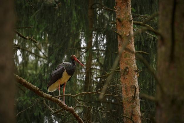 Cicogna nera nel buio della foresta europea