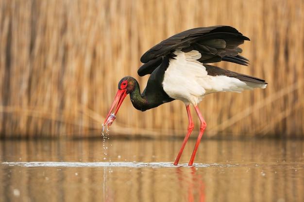 Black stork hunting in water in springtime nature