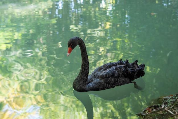 Птица черный лебедь плавает по озеру