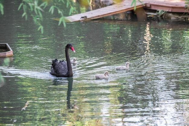검은 백조 클로즈업이 호수에서 수영합니다.