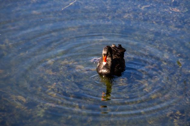 호수 표면에 떠 있는 블랙 스완