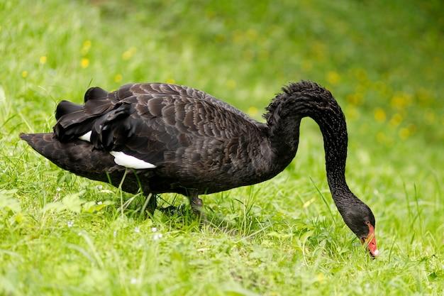 草の上で放牧している黒い白鳥