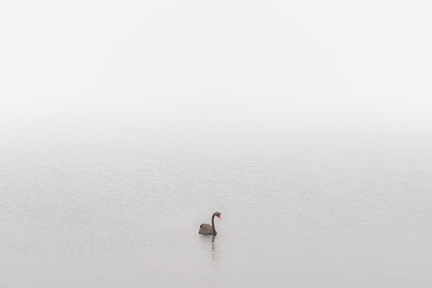 山火事の煙の中の黒い白鳥セントヘレンズ、タスマニア