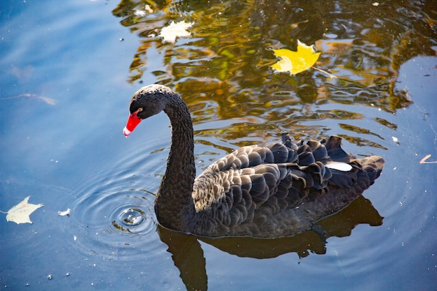 Black swan on the lake in the autumn day.
