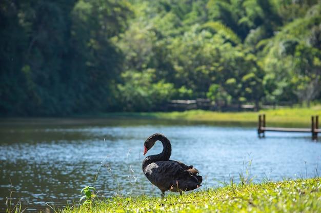 Черный лебедь на газоне фон и деревья