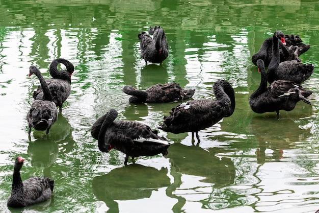 湖の穏やかな海を静かに泳ぐ黒い白鳥。
