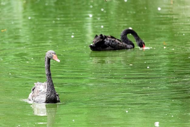 湖の穏やかな海を静かに泳ぐ黒い白鳥