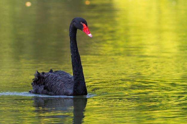 Черный лебедь, купание в воде пруда в летней природе