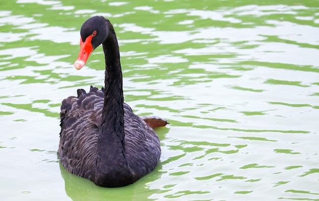 Black swan swimming in a lake and its reflection in the water