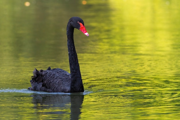 Black swan swimming in water of pond in summer nature
