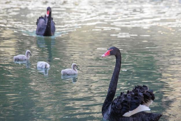 검은 백조는 새끼와 함께 호수에서 클로즈업으로 수영합니다.