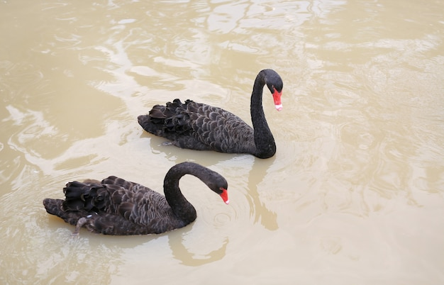 Black swans floating in pond.