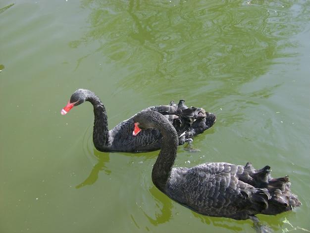 黒鳥の水。 2つの黒い白鳥のロマンチックなシーン。