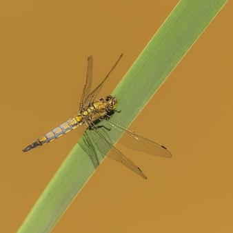 葦の葉の上に座っている黒い尾のスキマー(orthetrum cancellatum)トンボ