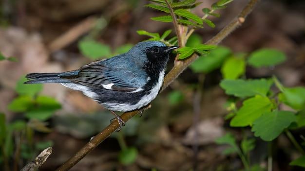 Черная горловая певчая птица