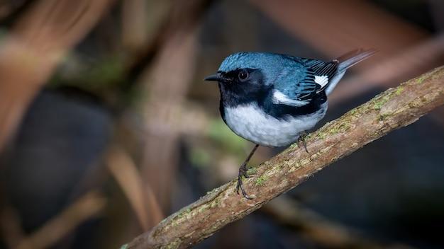 Warbler blu gola nera