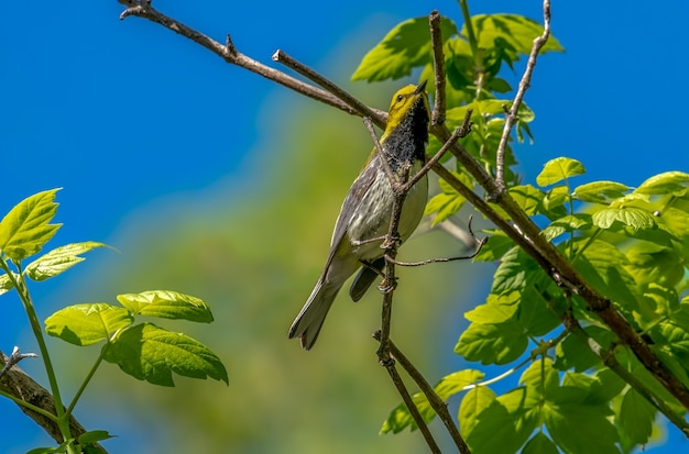 Зеленая певчая птица с черным горлом (setophaga virens)