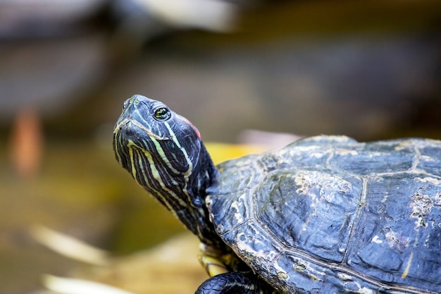 Black turtle close up with a raised head