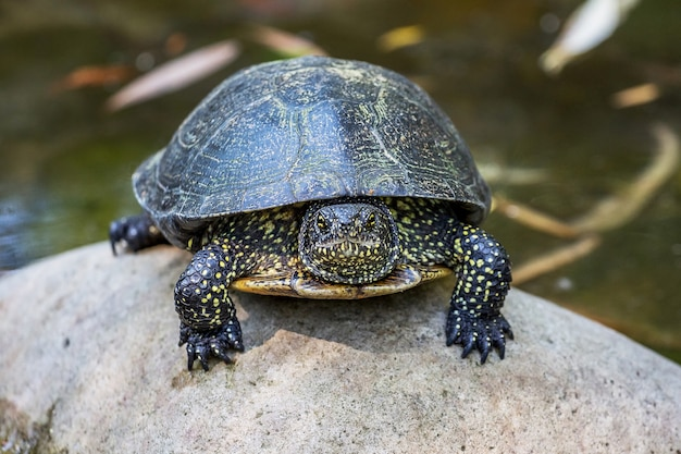 Black turtle sits on a pebble in a river, the front view_