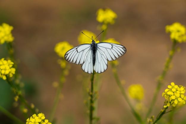 작은 노란색 꽃에 검은 veined 흰 나비