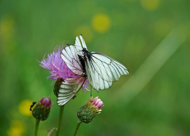 검은 정맥 흰 나비 - 러시아 바이칼 호수 근처의 aporia crataegi