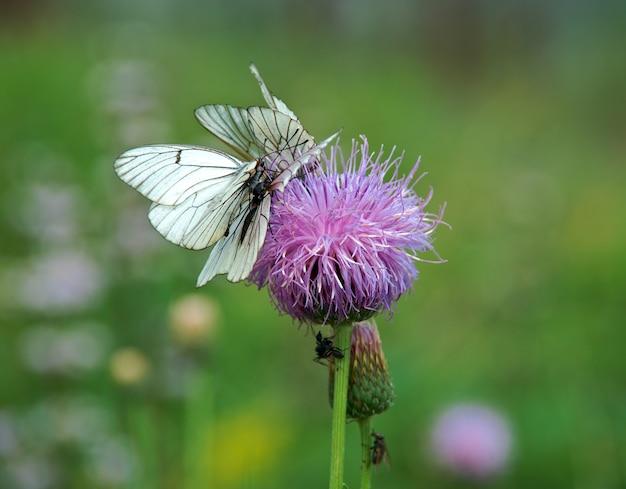 검은맥 흰나비