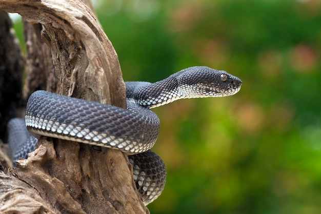Black viper snake on a tree