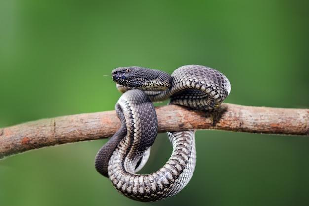 Черная гадюка trimeresurus purpureomaculatus manggrove pit viper ядовитая змея