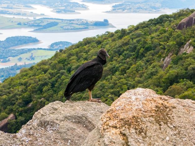 Black vulture coragyps atratus on rock