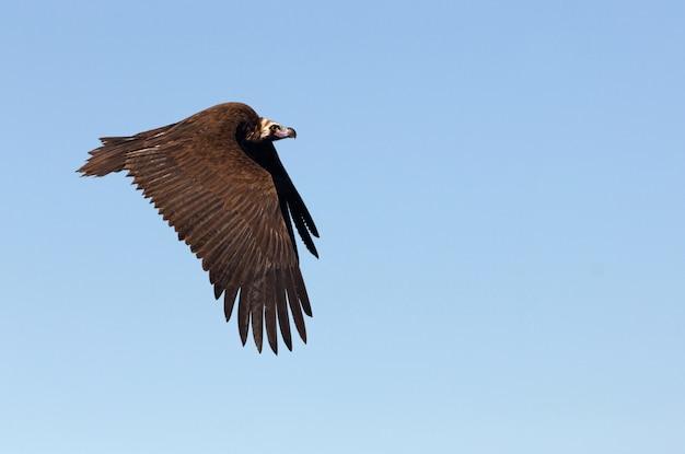 Черный гриф, летящий в солнечный день