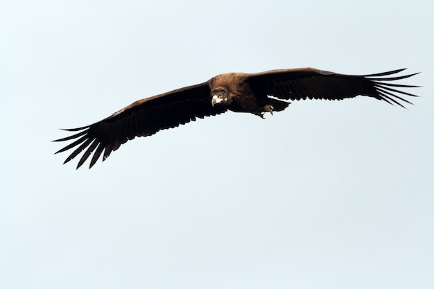 Black vulture flying with the first light of dawn