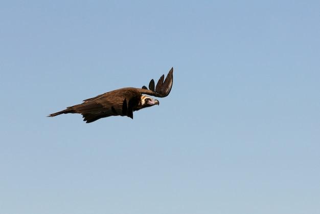 Черный гриф, летящий с первыми лучами солнца