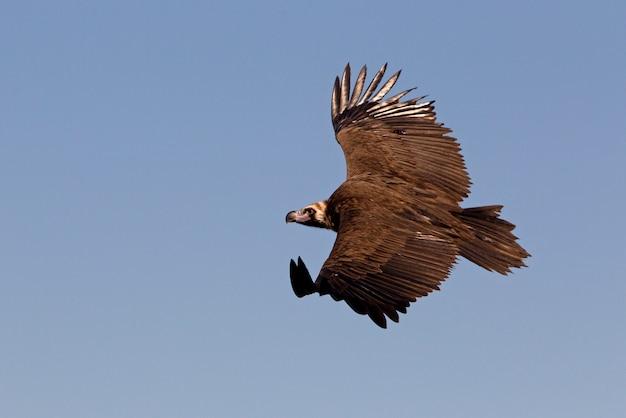 Black vulture flying