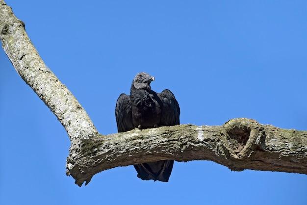 青空の下で木の枝に黒いハゲタカ