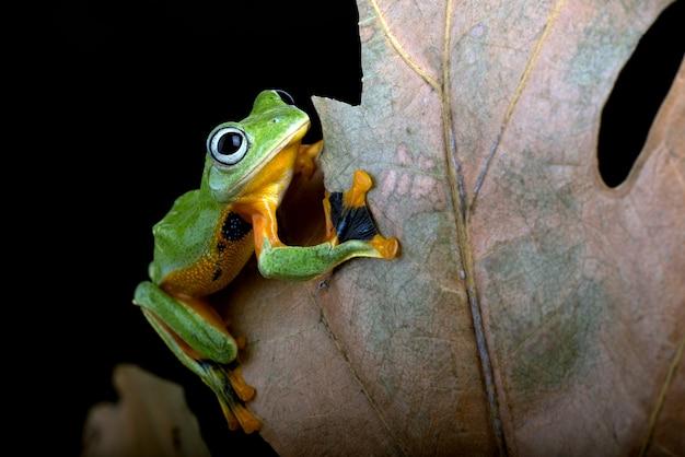 Черная лягушка с перепонками среди сухих листьев