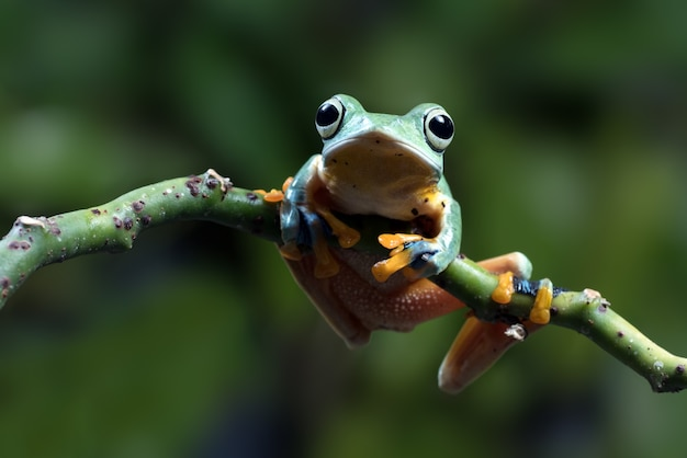 Black-webbed tree frog on a tree branch