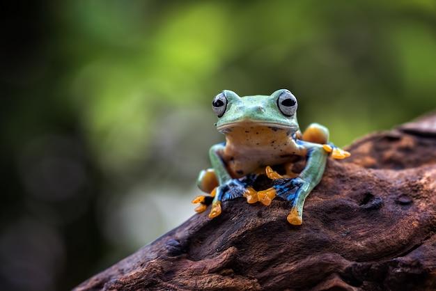 Black-webbed tree frog on a tree trunk