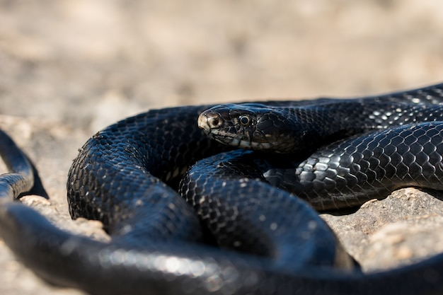 Black western whip snake basking in the sun on a rocky cliff in malta