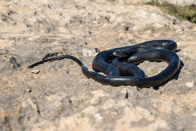 Black western whip snake, hierophis viridiflavus, basking in the sun on a rocky cliff in malta