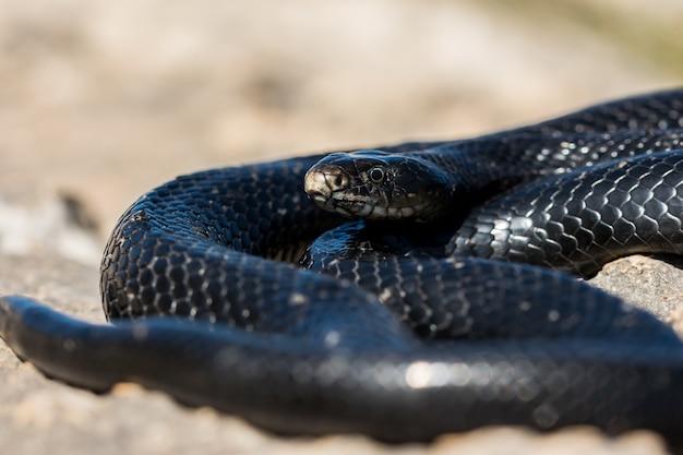 Serpente frusta occidentale nero, hierophis viridiflavus, crogiolarsi al sole su una scogliera rocciosa a malta